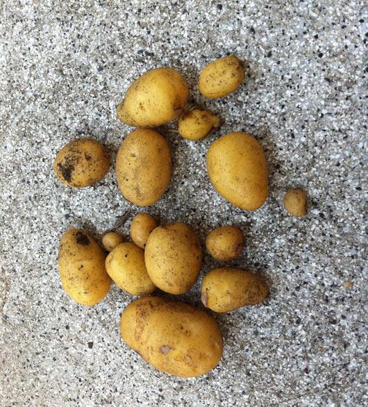 Geerntete Kartoffeln von einer Pflanze