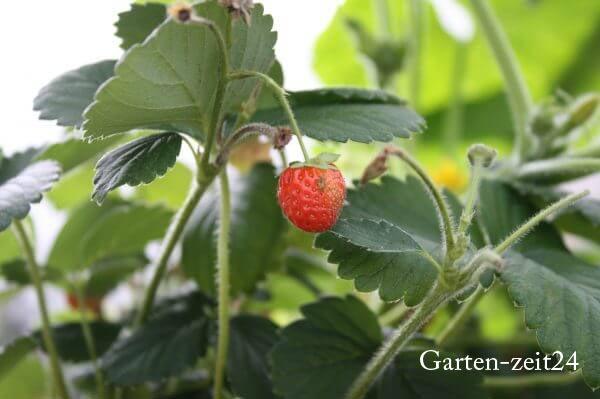 Erdbeerpflanze mit reifer Erdbeere