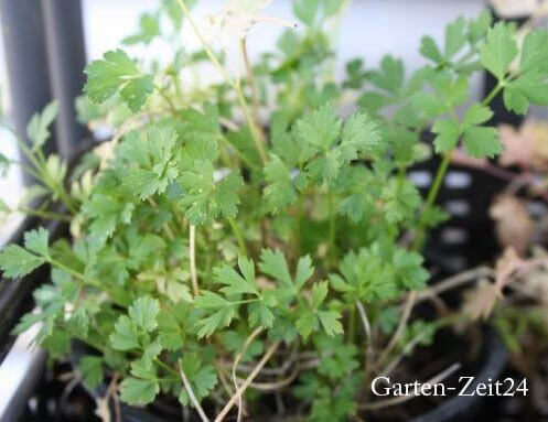 Petersilie anpflanzen im Topf