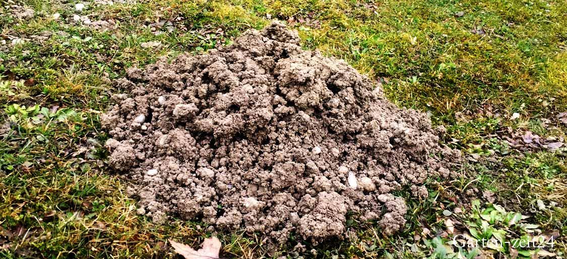 Maulwurf vertreiben - Maulwurfhügel auf Rasen