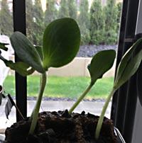 Gurken anbauen auf der Fensterbank