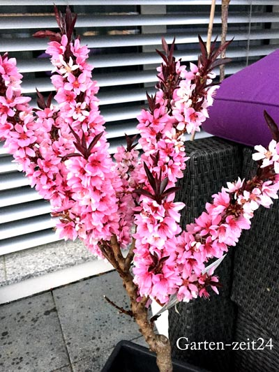 Blühender Pfirsichbaum im Topf