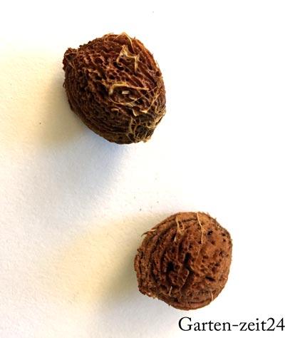 Zwei Pfirsichkerne für die Vermehrung