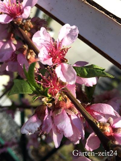Beispiel Wahrer Fruchttrieb Pfirsichbaum