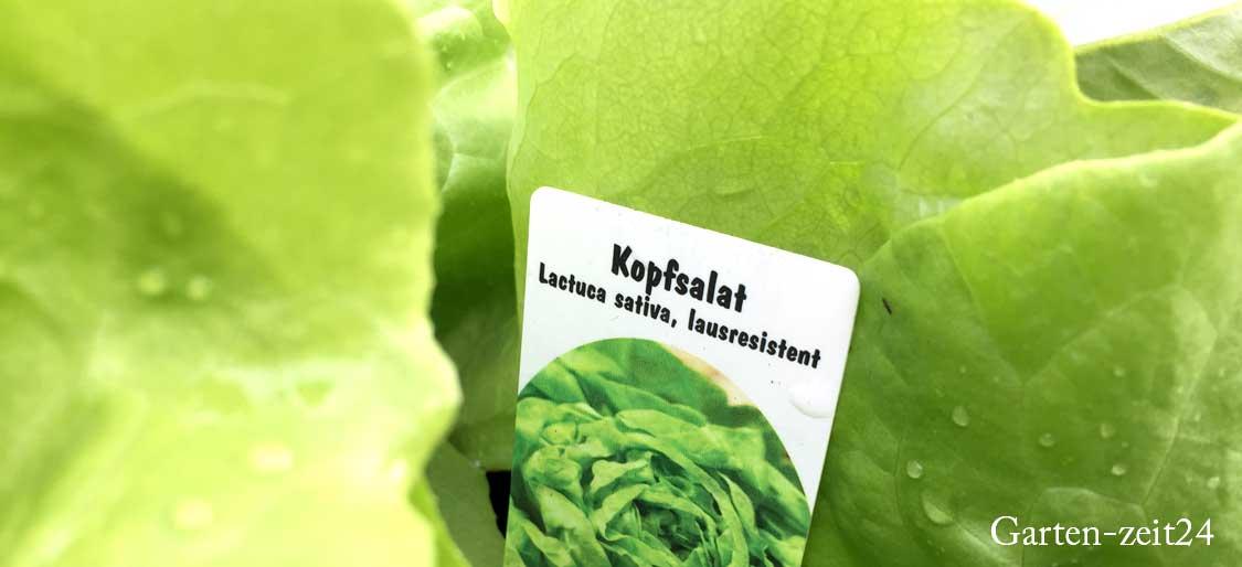 Läuseresistenter Kopfsalat mit einem Pflanzschild