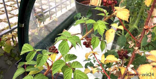 Rankpflanze am Gewächshaus
