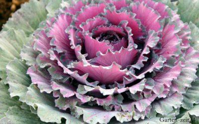 Imposanter Zierkohl – Nur schön fürs Auge oder auch essbar?