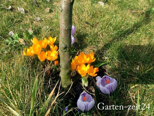 Frühblühende Krokusse im Frühjahr