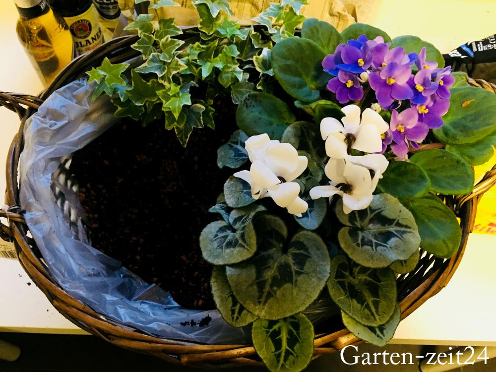 Korb bepflanzt mit Veilchen und Efeu