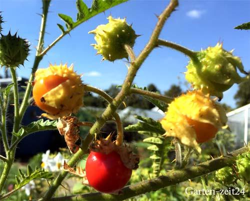 reife Früchte an der Litschitomate