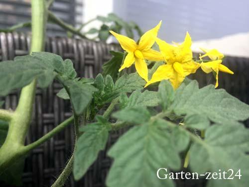 Blühende Tomatenpflanze mit gelben Blüten