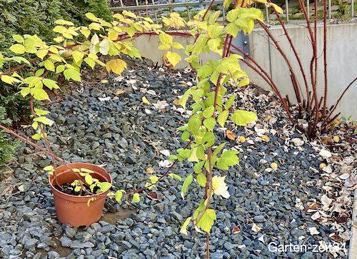 Ableger einer japanischen Weinbeere im Topf wurzeln lassen