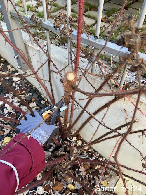 Schneiden der Ruten der Japanischen Weinbeere