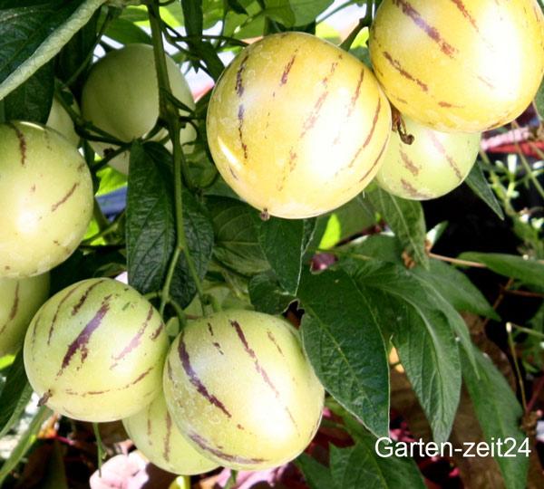 Reife Birnenmelone