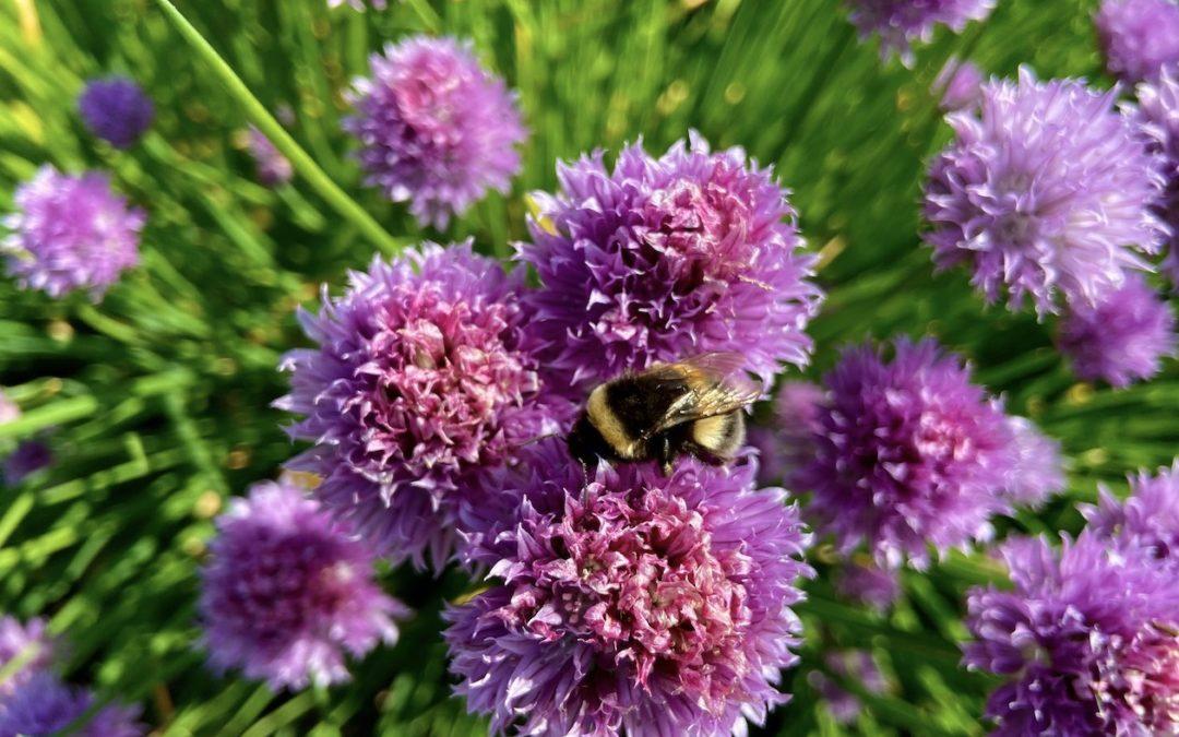 5 besonders bienenfreundliche Kräuter