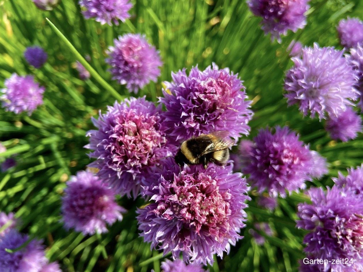 Bienenfreundliche Kräuter Schnittlauch