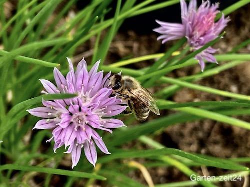 Biene auf einer Schnittlauchblüte
